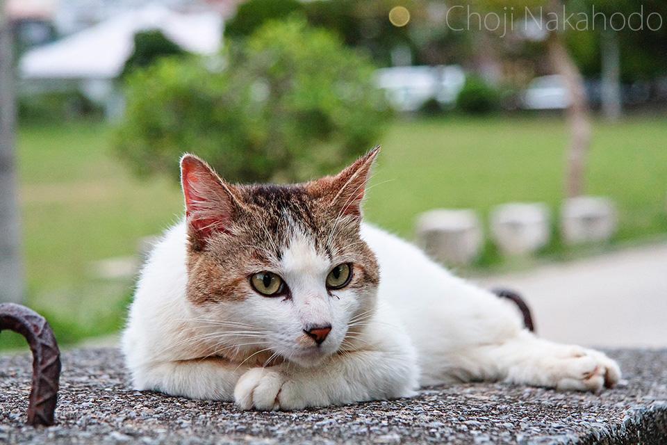 昼下がりの島猫 / Choji
